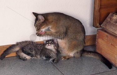 Chatte se léchant patte et chaton s'apprêtant à jouer