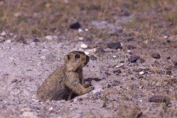 Himalayan Marmot out of its burrow Tibet China