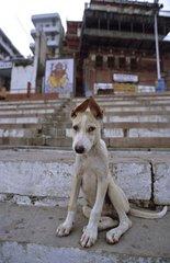 Dog sitting on the Ghats Vârânaçî India
