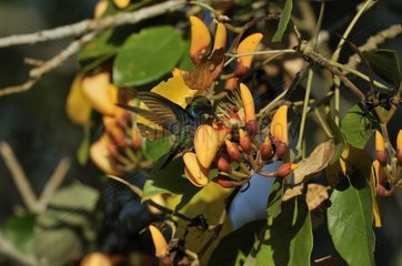 Fork-tailed Woodnymph gathering nectar Pantanal Brazil