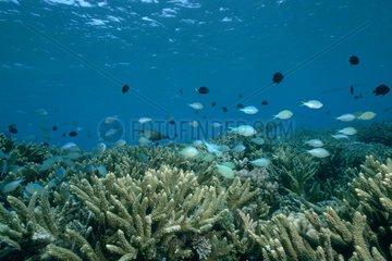 Banc de poissons nageant dans un récif corallien Rangiora
