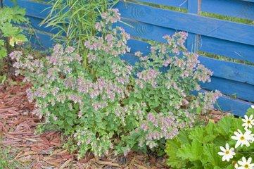 Oregano 'Dingle Fairy' in bloom in a garden
