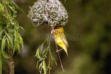 Tisserin du Cap de retour au nid avec une fleur dans le bec