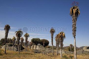 Palm trees at the ruins of Great Zimbabwe Zimbabwe