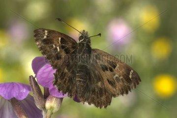 Mallow Skipper female posed on a flower Bourgogne France