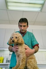 Veterinarian auscultating a poodle with a stethoscope France