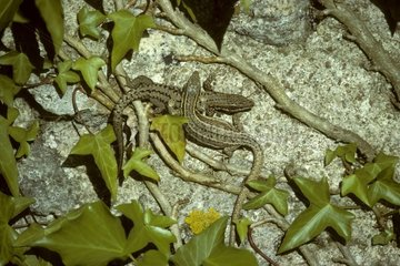 Common wall lizards France