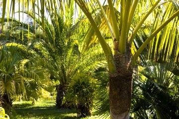 Young Palm Trees Botanical Garden Funchal Madeira