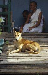 Chien couché près de religieuses Cambodge