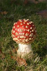 Fly agaric in grass Dinan France