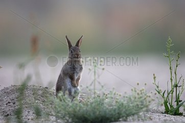 European Rabbit attentive Auvergne France