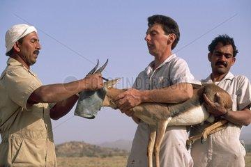Capture d'une Gazelle de Rheen avant son transport