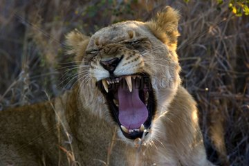 Lioness yawning NP Kruger South Africa