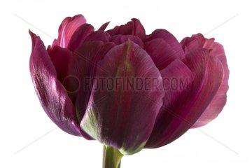Tulipe hybrid horticultural dark pink on white backround