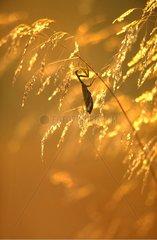 Mante religieuse femelle dans des graminées au crépuscule