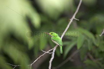 Broad-billed Tody on a branch Dominican Republic