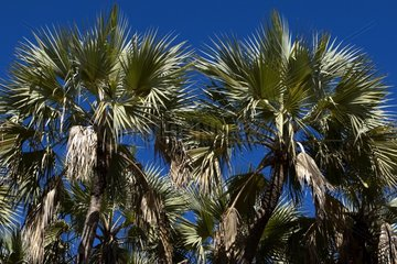 Tops of Palm trees NP Kruger South Africa