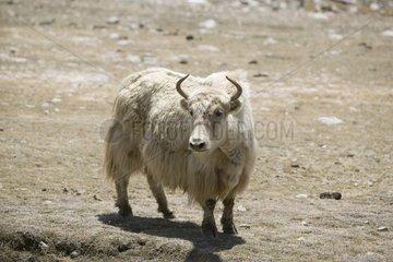 Yac in the Khunjerab National Park in Pakistan