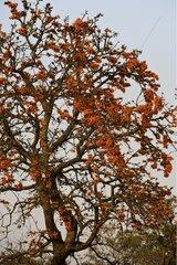 Erithryne bloom Dudhwa National Park Uttar Pradesh India