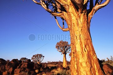 Quiver trees Area of Keetmanshop Namibia