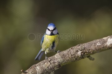 Blue Tit watching on a branch Andalusia
