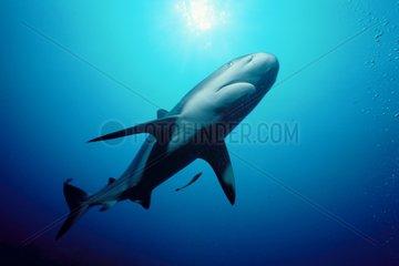 Requin de récif et Rémora Bahamas Grandes Antilles