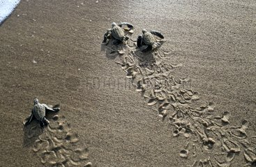 Young Leatherbacks going to the sea after the hatching
