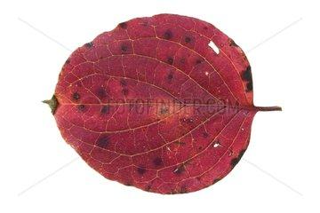 Leaf of Cornelian ry in Autumn