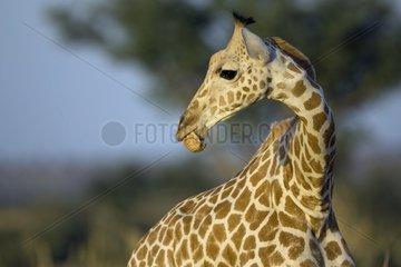 Nigearian Giraffe eating Niger
