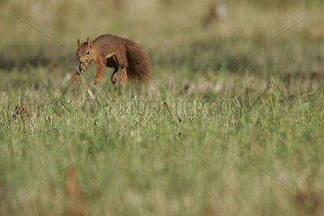 Eurasian red Squirrel jumping while running in a meadow