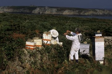 Beekeepers working at the apiary Ouessant island Bretagne