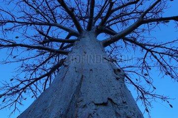 Baobab Parc National du W NIGER