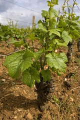 Field cropping of 'Pinot Noir' Wine Grappe Bourgogne France