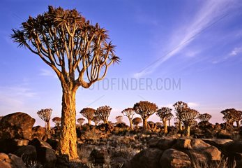 Quiver trees at sunrise Namibia