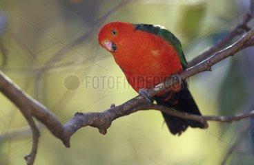 Perruche royale mâle perchée sur une branche Australie
