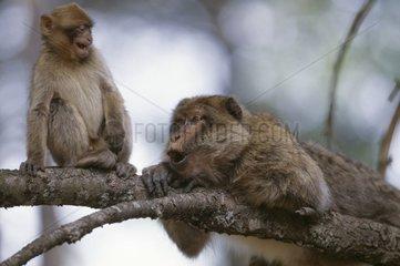 Jeune Magot cherchant alliance protectrice auprès du mâle