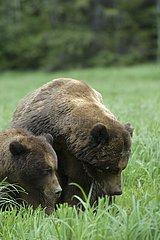 Mating Grizzlys Khutzeymateen Grizzly Bear Sanctuary Canada