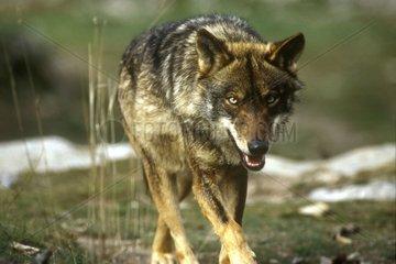 Loup ibérique marchant attentif Espagne
