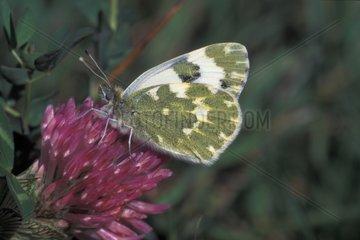 Marbré-de-vert femelle sur une fleur France