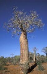 Baobab tree Mangilvy Madagascar