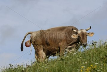 Brown cow calving in the open air