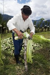 Preparation of Agave sisal fibers Ecuador