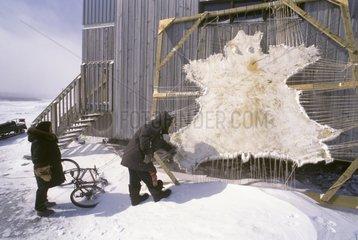 Skin of Polar bear tended Hudson Bay Canada
