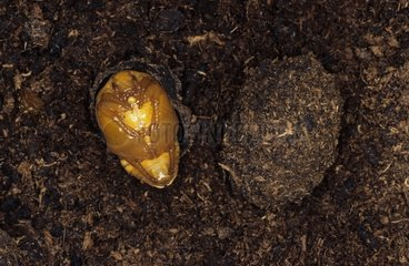 Development of a Hairy Beetle in a stump DR of Congo