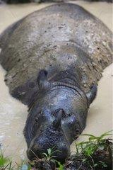 Sumatran rhinoceros in a wallow Sumatra Indonesia