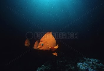 Garibaldi damselfishes swimming in a Kelp Forest