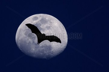 Fox flying of Seychelles in back-light in front of the moon