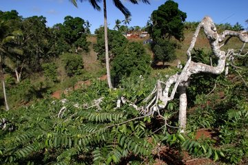 Parcelles de culture de l'Ylang-ylang à Mayotte