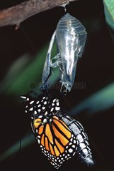 Monarch butterfly out of it chrysalis pup Casablanca Morocco