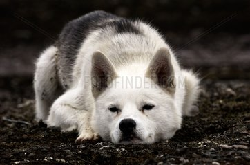 Siberian Husky Prins Karls Forland Svalbard
